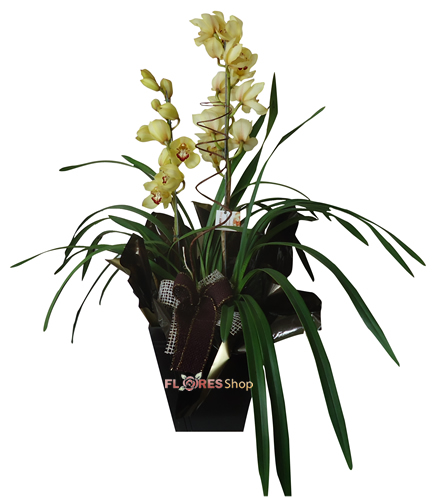 1818 Orquídea Cymbidium