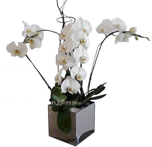 2292 Adorável Orquídea