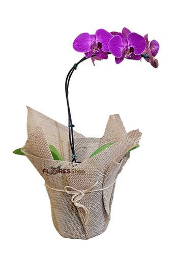 3339 Orquídea Roxa