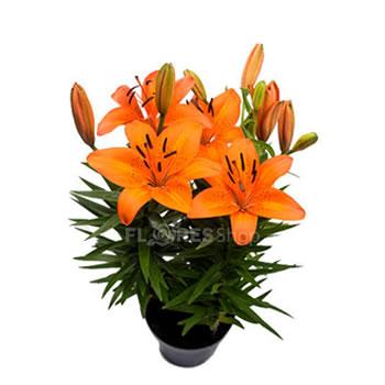4518 Vaso de Lírio laranja