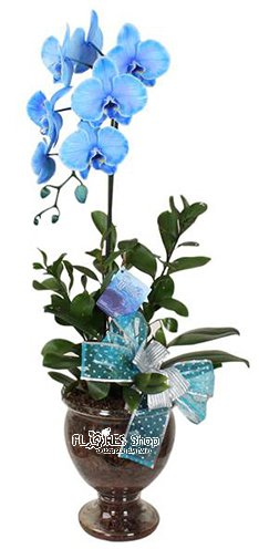 796  Amo Azul